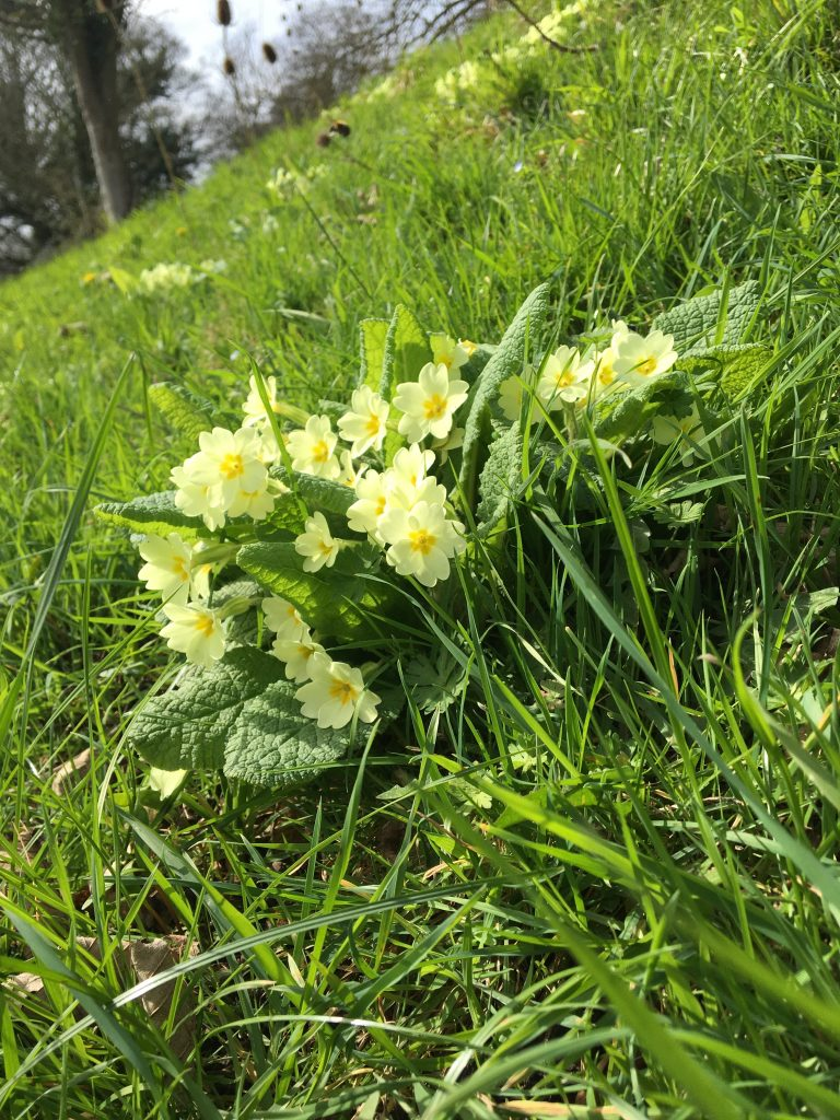 Primroses The First Flowers Of Spring Bath Soft Cheese Company